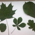 herbariumas 1