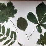 herbariumas 2