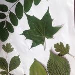 herbariumas 3